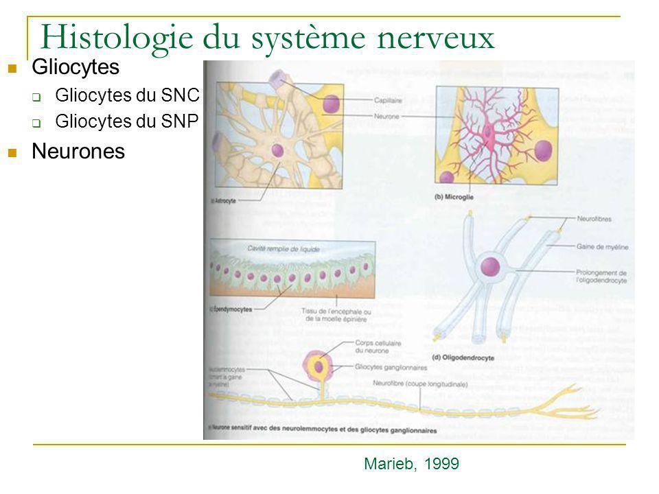 Neurophysiologie Récepteurs des neurotransmetteurs Marieb, 1999