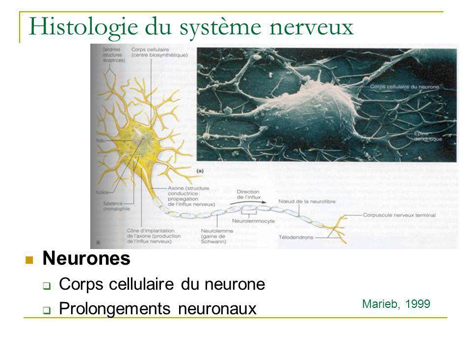 Histologie du système nerveux Neurones Corps cellulaire du neurone Prolongements neuronaux Marieb, 1999