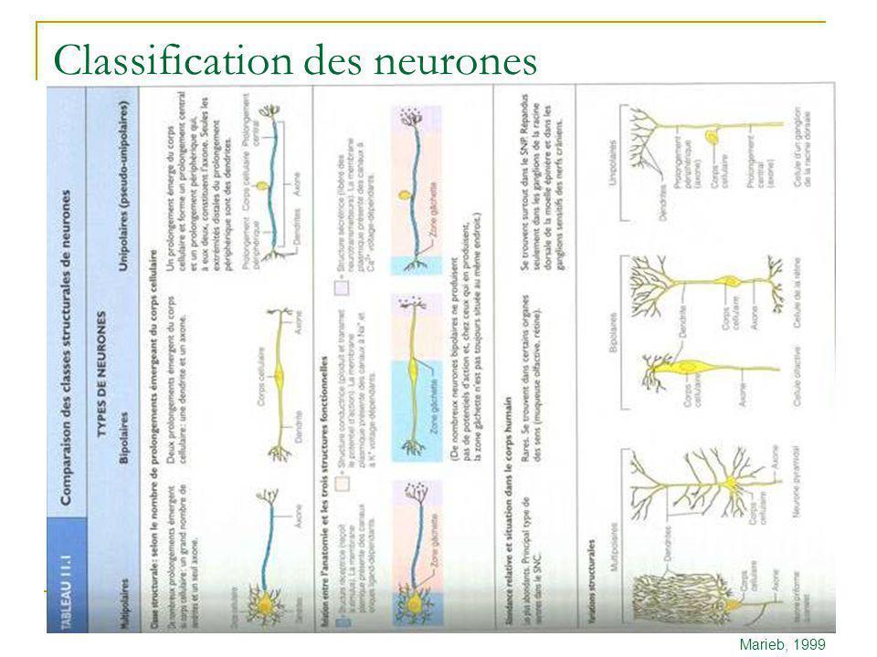 Classification des neurones Marieb, 1999