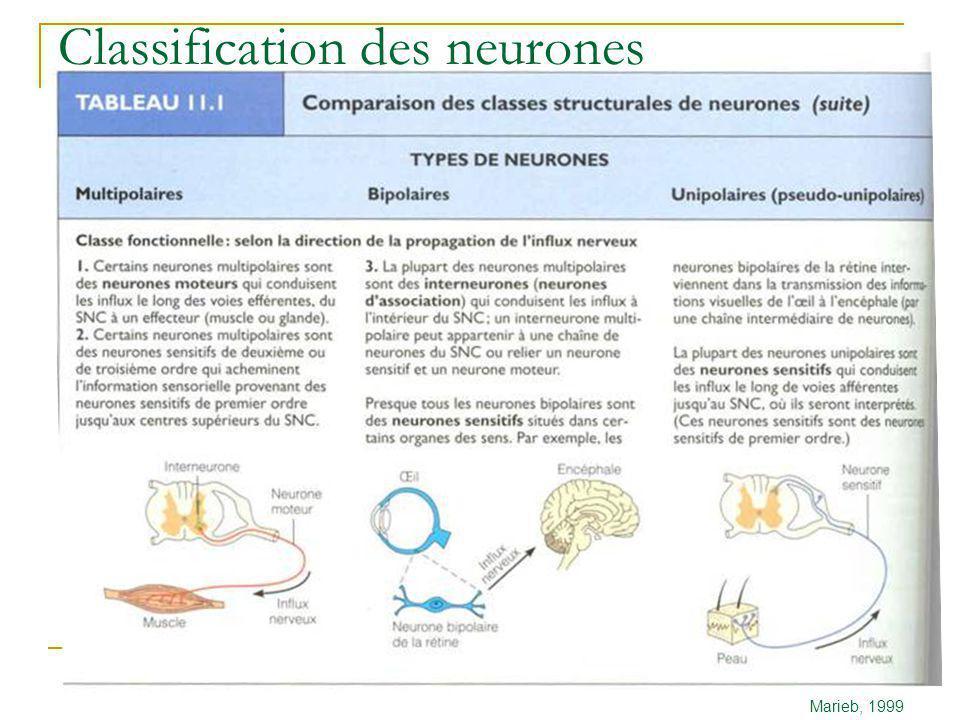 Neurophysiologie Principes de base Marieb, 1999