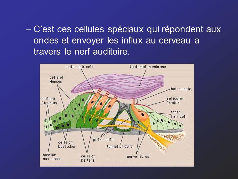 –Cest ces cellules spéciaux qui répondent aux ondes et envoyer les influx au cerveau a travers le nerf auditoire.
