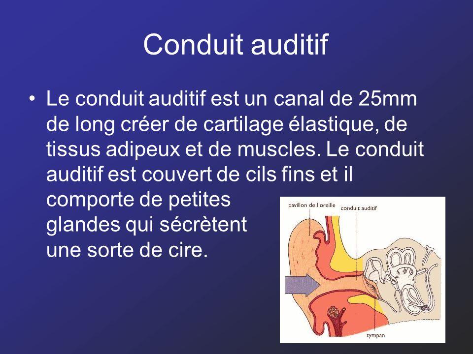 Conduit auditif Le conduit auditif est un canal de 25mm de long créer de cartilage élastique, de tissus adipeux et de muscles. Le conduit auditif est