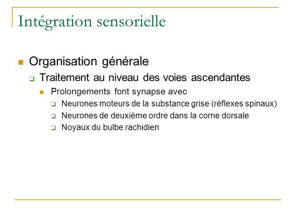 Intégration sensorielle Organisation générale Traitement au niveau des voies ascendantes Prolongements font synapse avec Neurones moteurs de la substa