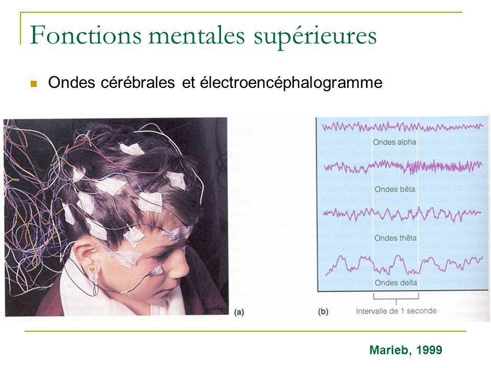 Fonctions mentales supérieures Ondes cérébrales et électroencéphalogramme Marieb, 1999