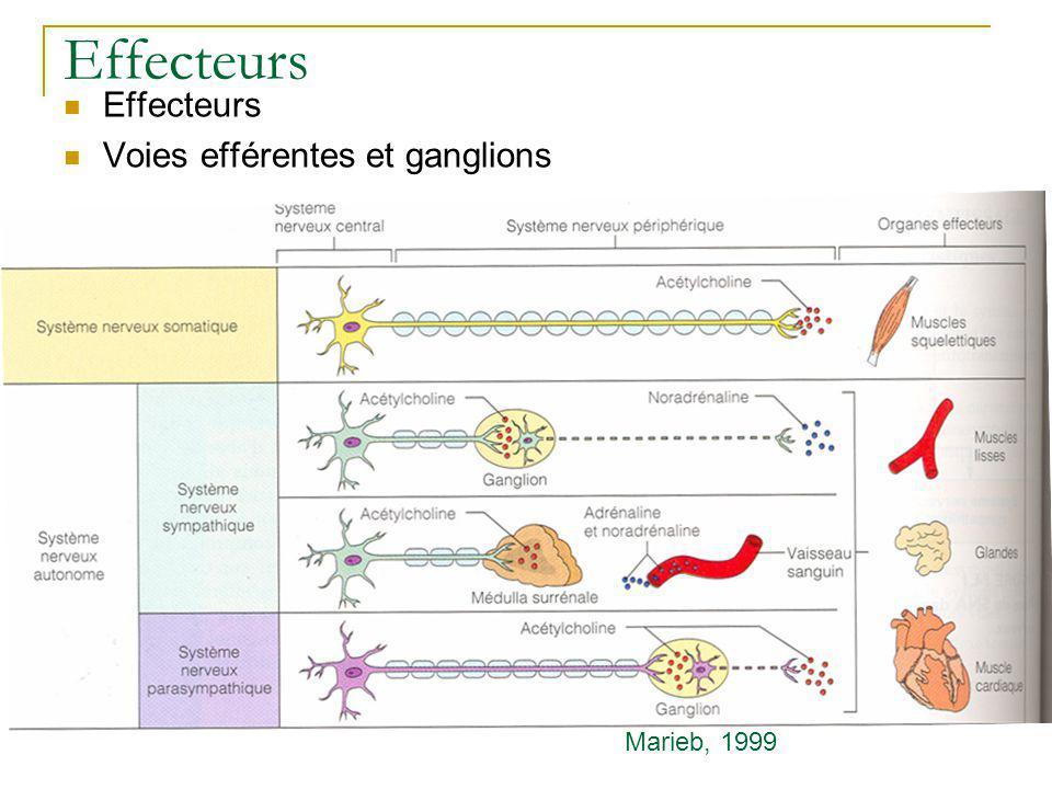 Effecteurs Voies efférentes et ganglions Marieb, 1999