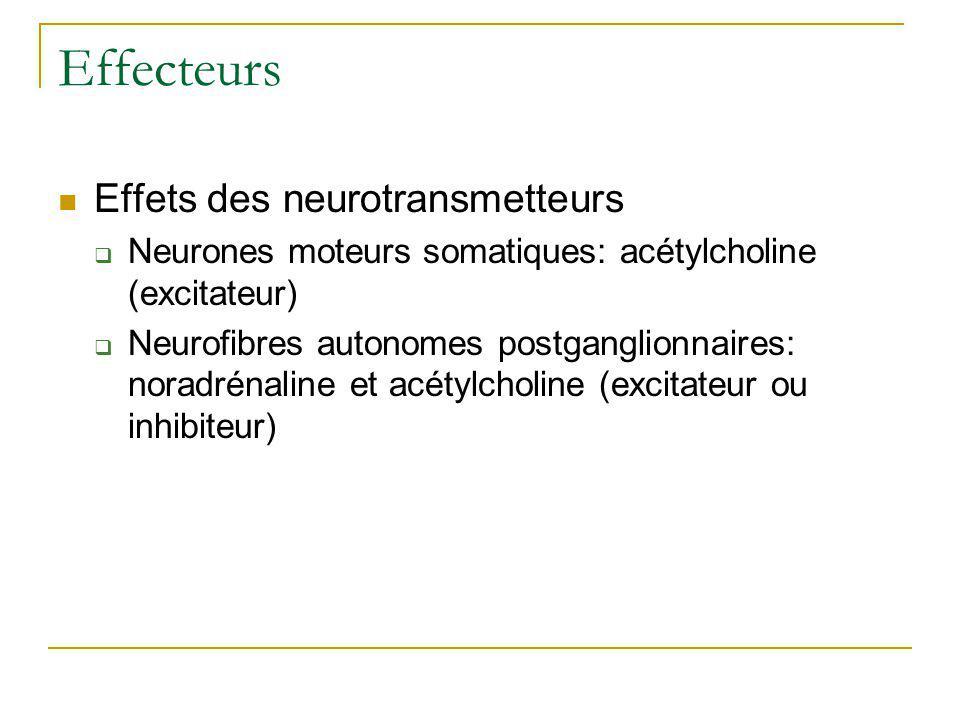 Effecteurs Effets des neurotransmetteurs Neurones moteurs somatiques: acétylcholine (excitateur) Neurofibres autonomes postganglionnaires: noradrénali
