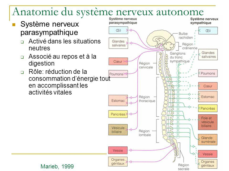 Anatomie du système nerveux autonome Système nerveux parasympathique Activé dans les situations neutres Associé au repos et à la digestion Rôle: réduc