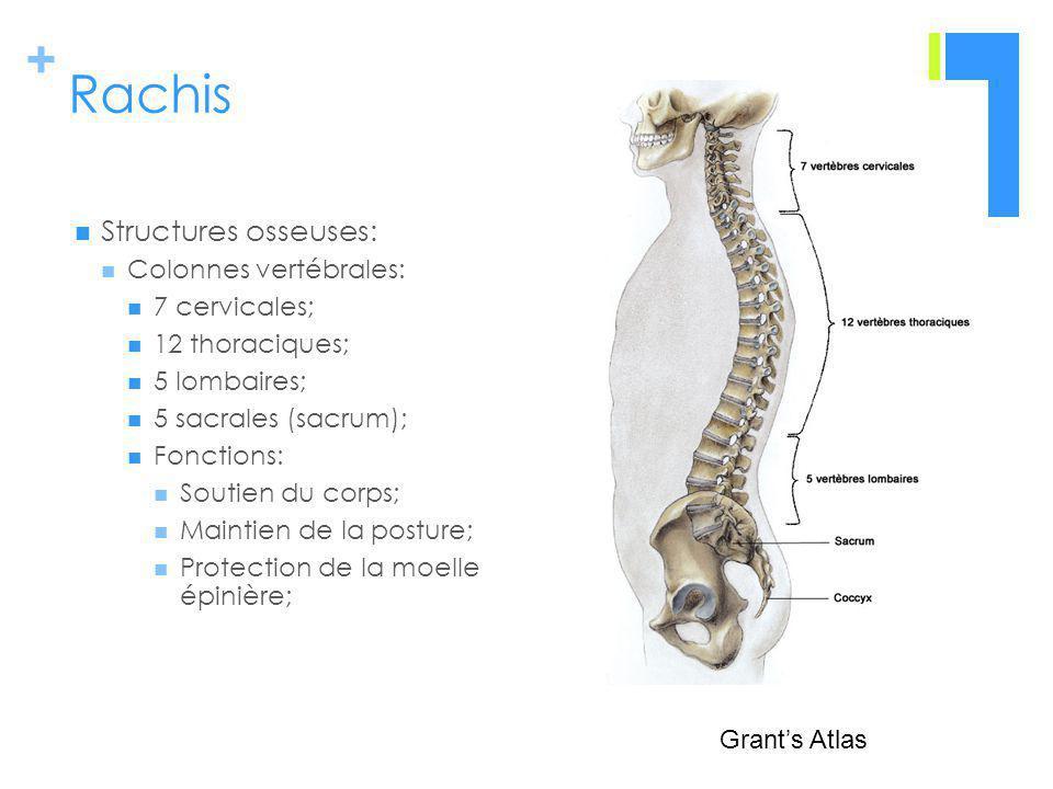 + Rachis Structures osseuses: Colonnes vertébrales: 7 cervicales; 12 thoraciques; 5 lombaires; 5 sacrales (sacrum); Fonctions: Soutien du corps; Maintien de la posture; Protection de la moelle épinière; Grants Atlas