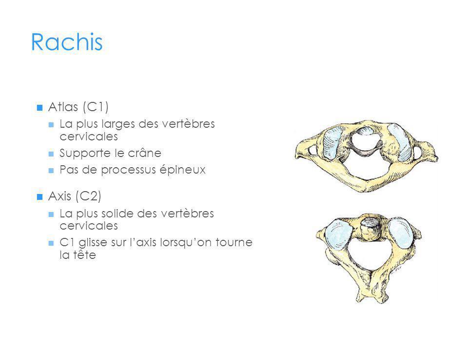 Rachis Atlas (C1) La plus larges des vertèbres cervicales Supporte le crâne Pas de processus épineux Axis (C2) La plus solide des vertèbres cervicales C1 glisse sur laxis lorsquon tourne la tête