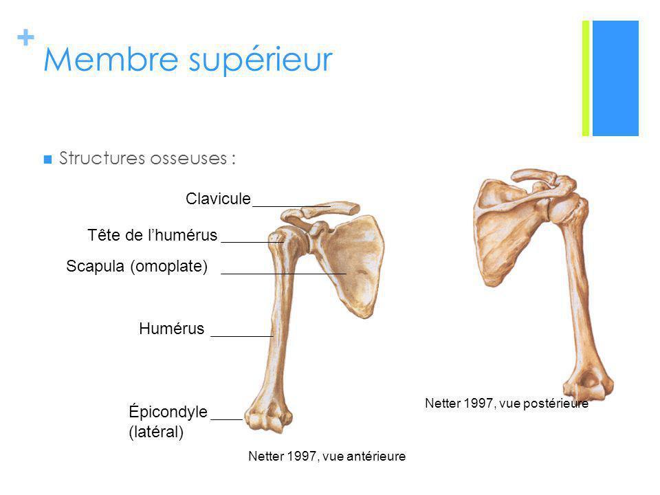 + Membre supérieur Structures osseuses : Netter 1997, vue antérieure Netter 1997, vue postérieure Clavicule Tête de lhumérus Scapula (omoplate) Humérus Épicondyle (latéral)
