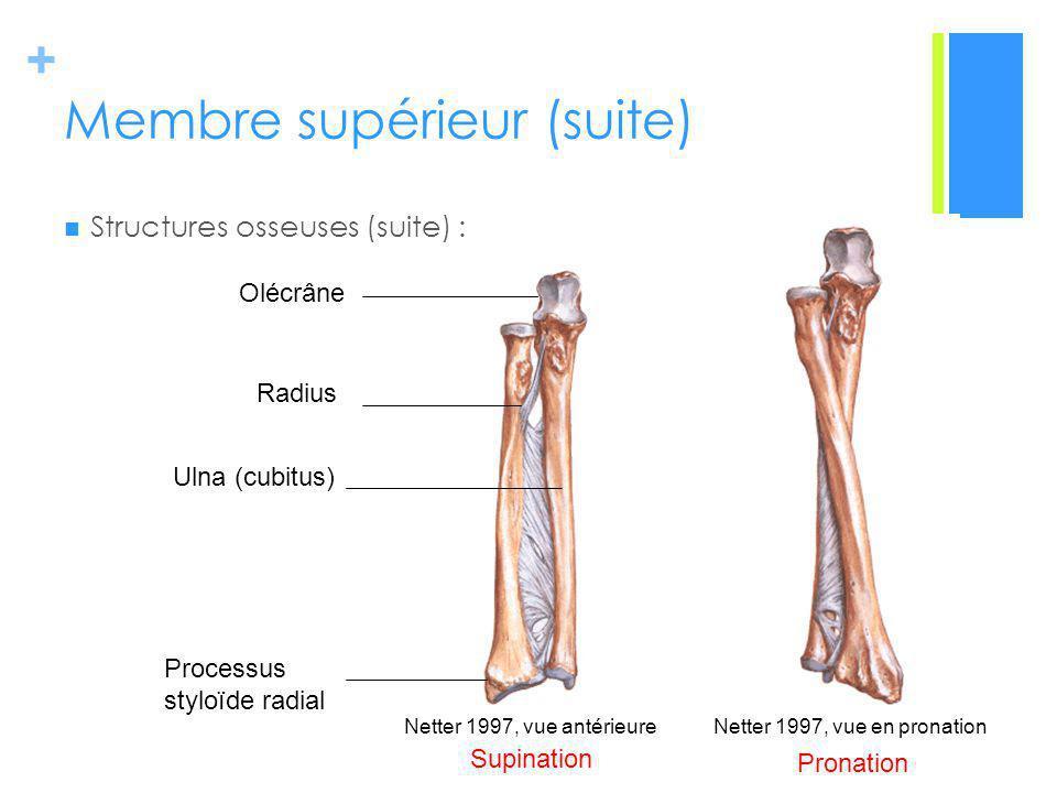 + Membre supérieur (suite) Structures osseuses (suite) : Netter 1997, vue antérieureNetter 1997, vue en pronation Ulna (cubitus) Radius Olécrâne Processus styloïde radial Supination Pronation