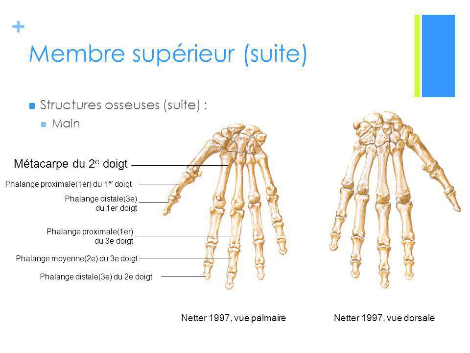 + Membre supérieur (suite) Structures osseuses (suite) : Main Netter 1997, vue palmaireNetter 1997, vue dorsale Métacarpe du 2 e doigt Phalange proximale(1er) du 3e doigt Phalange moyenne(2e) du 3e doigt Phalange distale(3e) du 2e doigt Phalange proximale(1er) du 1 er doigt Phalange distale(3e) du 1er doigt