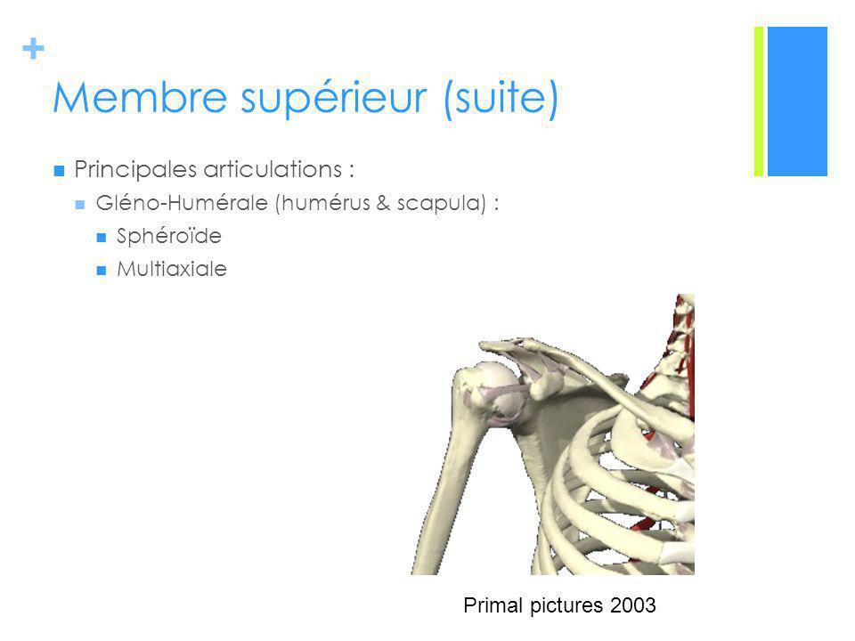 + Membre supérieur (suite) Principales articulations : Gléno-Humérale (humérus & scapula) : Sphéroïde Multiaxiale Primal pictures 2003