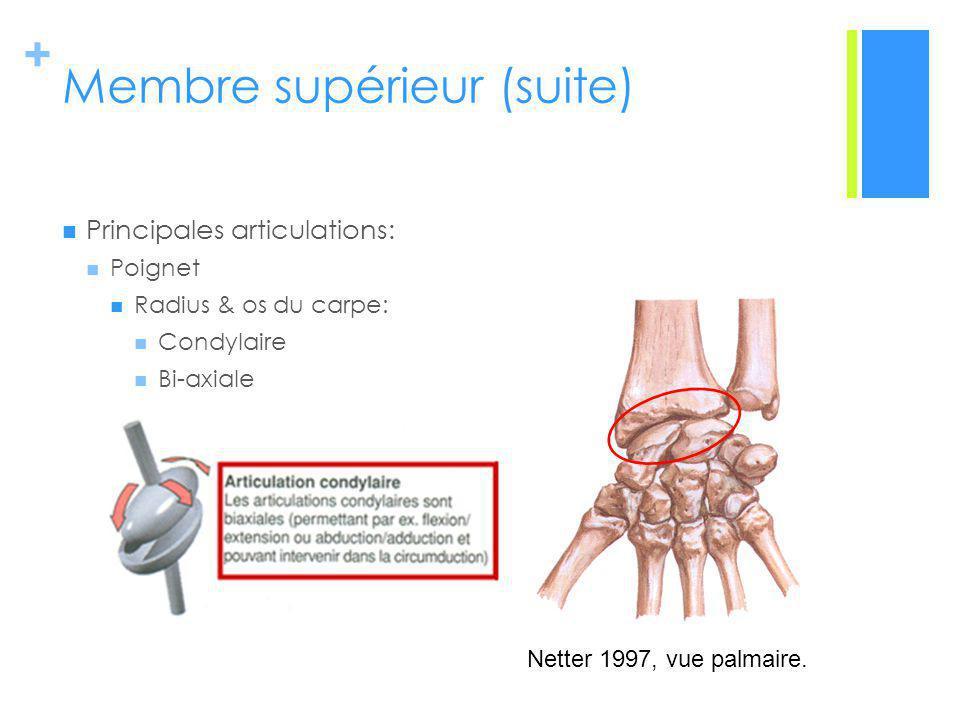 + Membre supérieur (suite) Principales articulations: Poignet Radius & os du carpe: Condylaire Bi-axiale Netter 1997, vue palmaire.