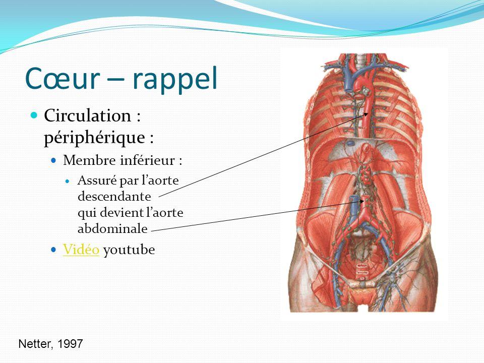 Cœur – rappel Circulation : périphérique : Membre inférieur : Assuré par laorte descendante qui devient laorte abdominale Vidéo youtube Vidéo Netter,