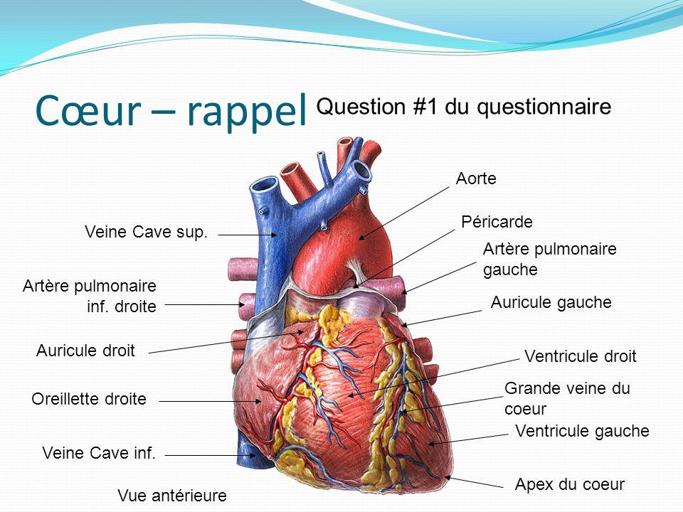 Cœur – rappel Veine Cave sup. Veine Cave inf. Artère pulmonaire inf. droite Auricule droit Oreillette droite Aorte Artère pulmonaire gauche Ventricule