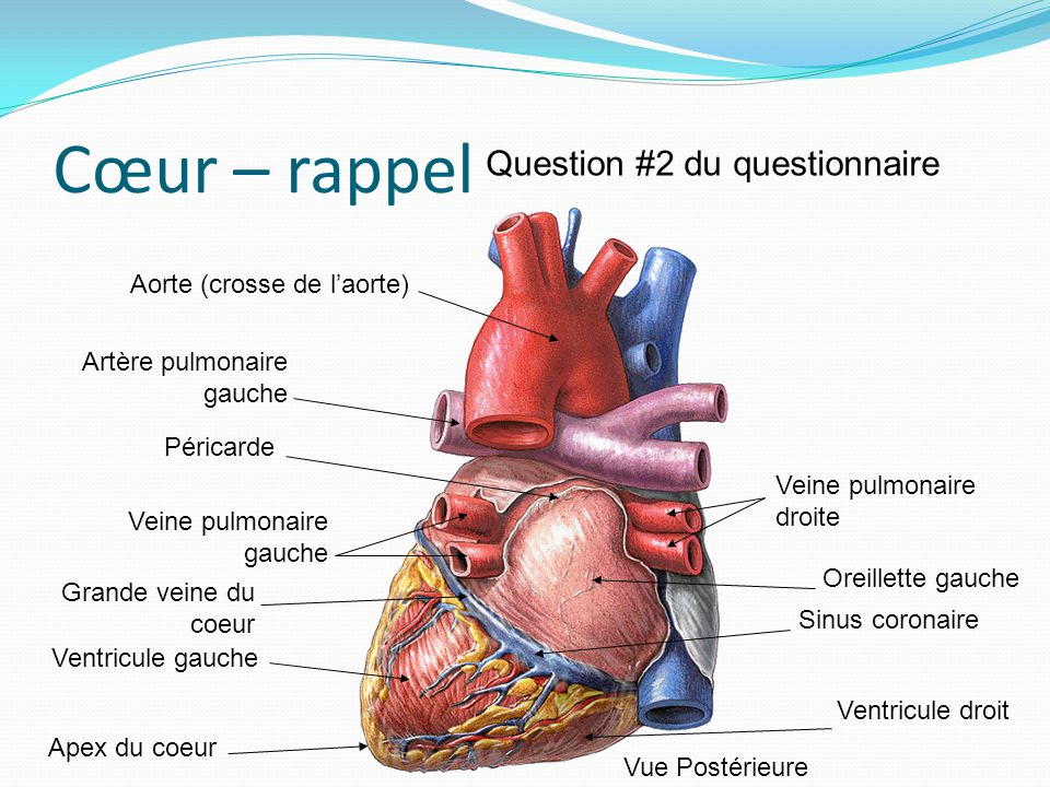 Cœur – rappel Aorte (crosse de laorte) Artère pulmonaire gauche Péricarde Veine pulmonaire gauche Grande veine du coeur Ventricule gauche Apex du coeu