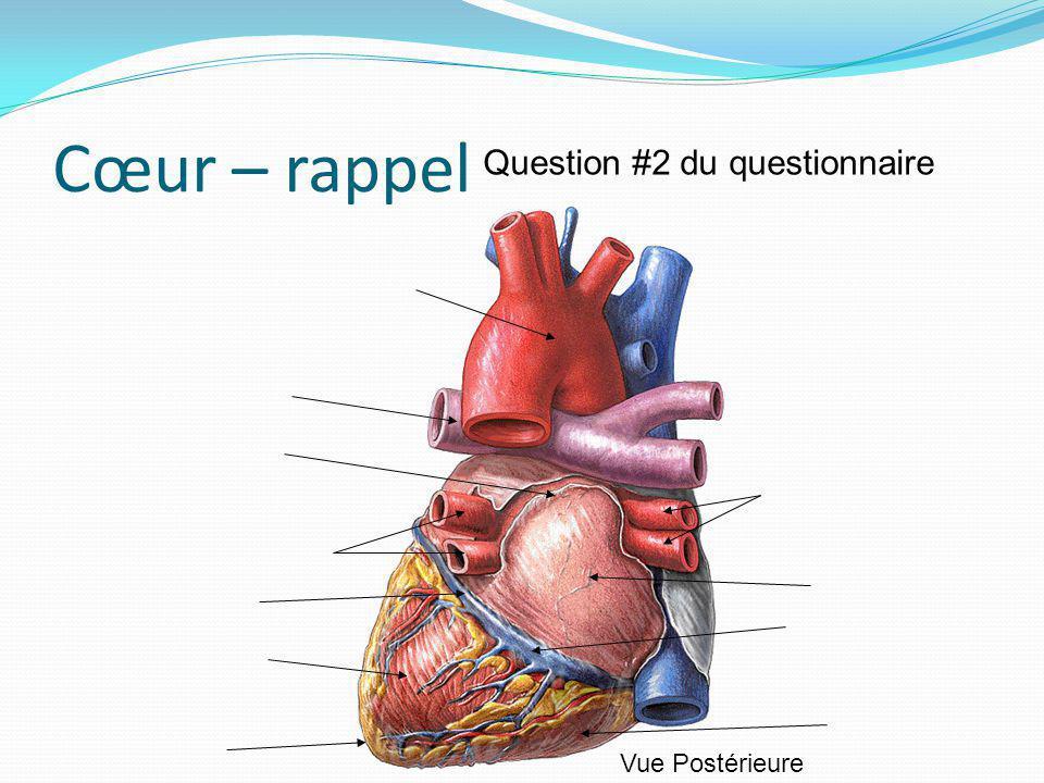 Cœur – rappel Vue Postérieure Question #2 du questionnaire