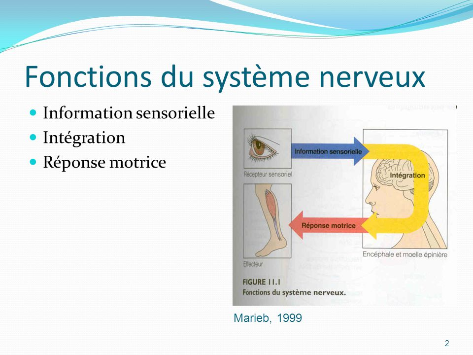 Fonctions du système nerveux Information sensorielle Intégration Réponse motrice Marieb, 1999 2