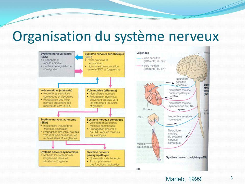 Organisation du système nerveux Marieb, 1999 3