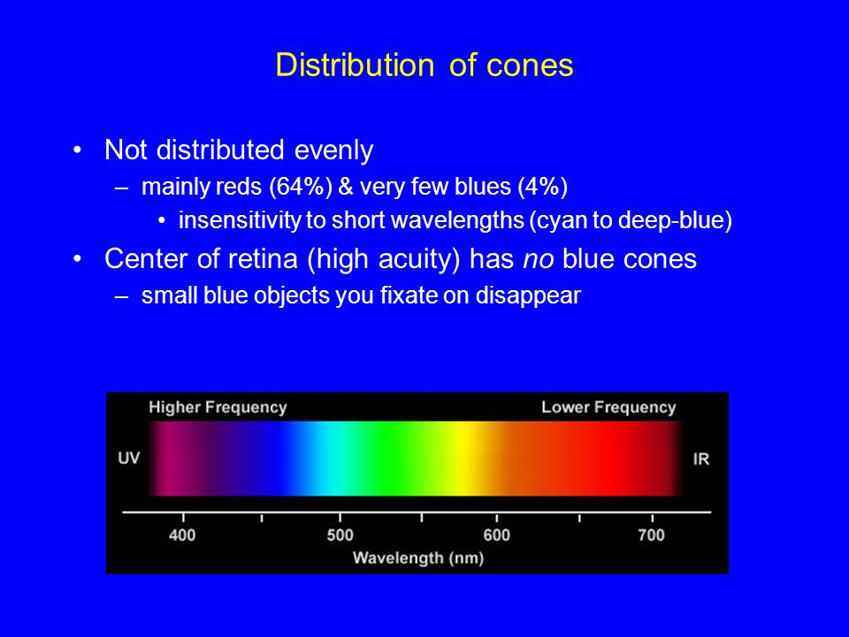 Distribution of cones Not distributed evenly –mainly reds (64%) & very few blues (4%) insensitivity to short wavelengths (cyan to deep-blue) Center of