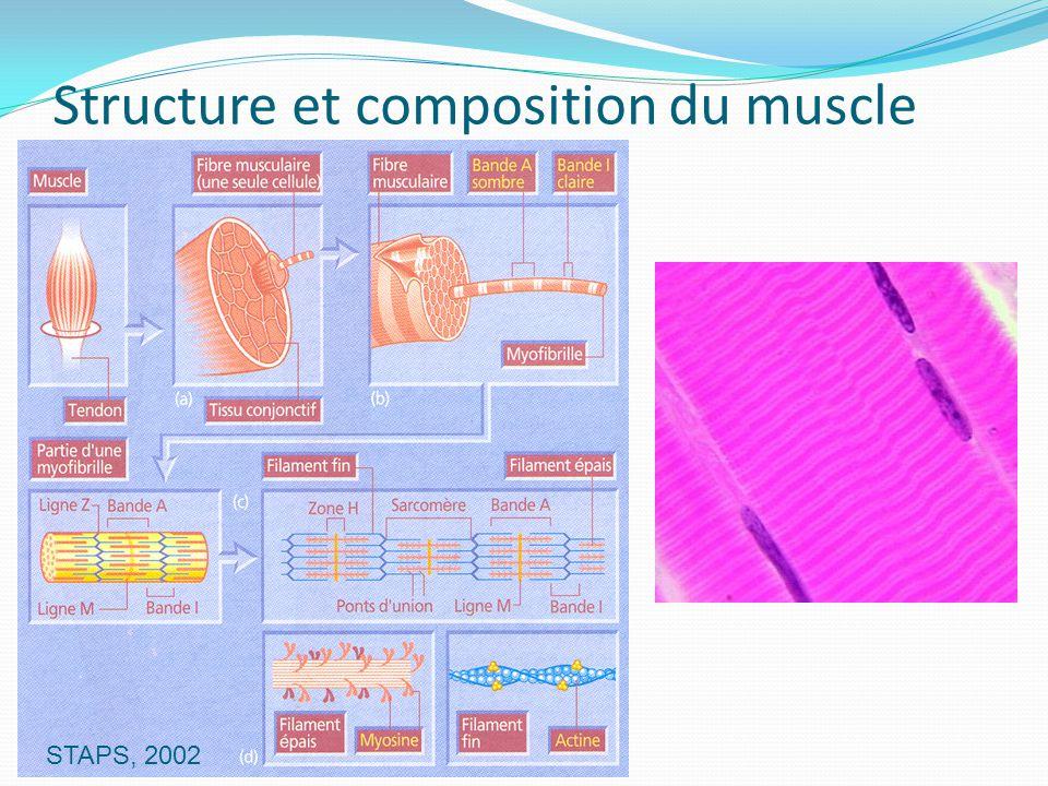 Structure et composition du muscle STAPS, 2002