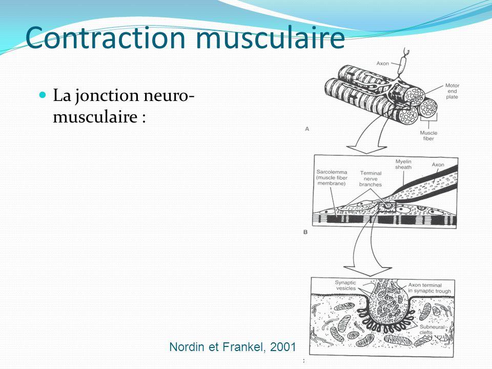Contraction musculaire La jonction neuro- musculaire : Nordin et Frankel, 2001