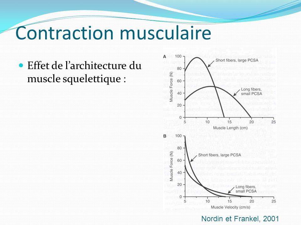 Contraction musculaire Effet de larchitecture du muscle squelettique : Nordin et Frankel, 2001