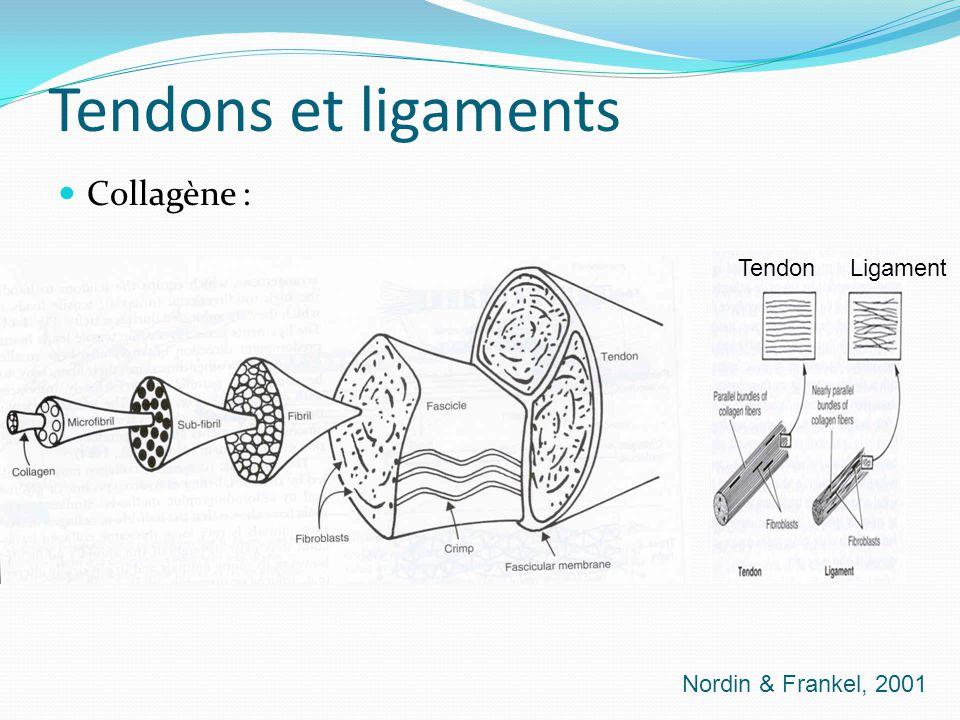 Tendons et ligaments Collagène : Nordin & Frankel, 2001 Tendon Ligament