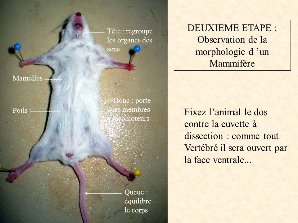 DEUXIEME ETAPE : Observation de la morphologie d 'un Mammifère Fixez l'animal le dos contre la cuvette à dissection : comme tout Vertébré il sera ouvert par la face ventrale...