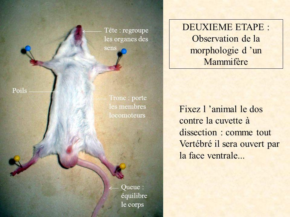 DEUXIEME ETAPE : Observation de la morphologie d 'un Mammifère Fixez l 'animal le dos contre la cuvette à dissection : comme tout Vertébré il sera ouvert par la face ventrale...