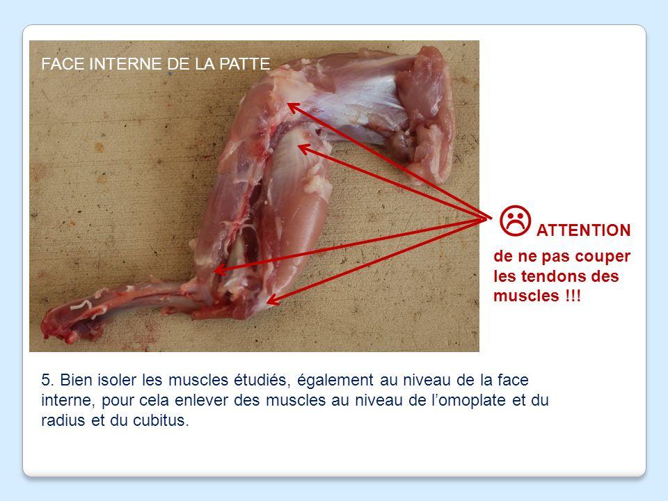 FACE EXTERNE DE LA PATTE 4.