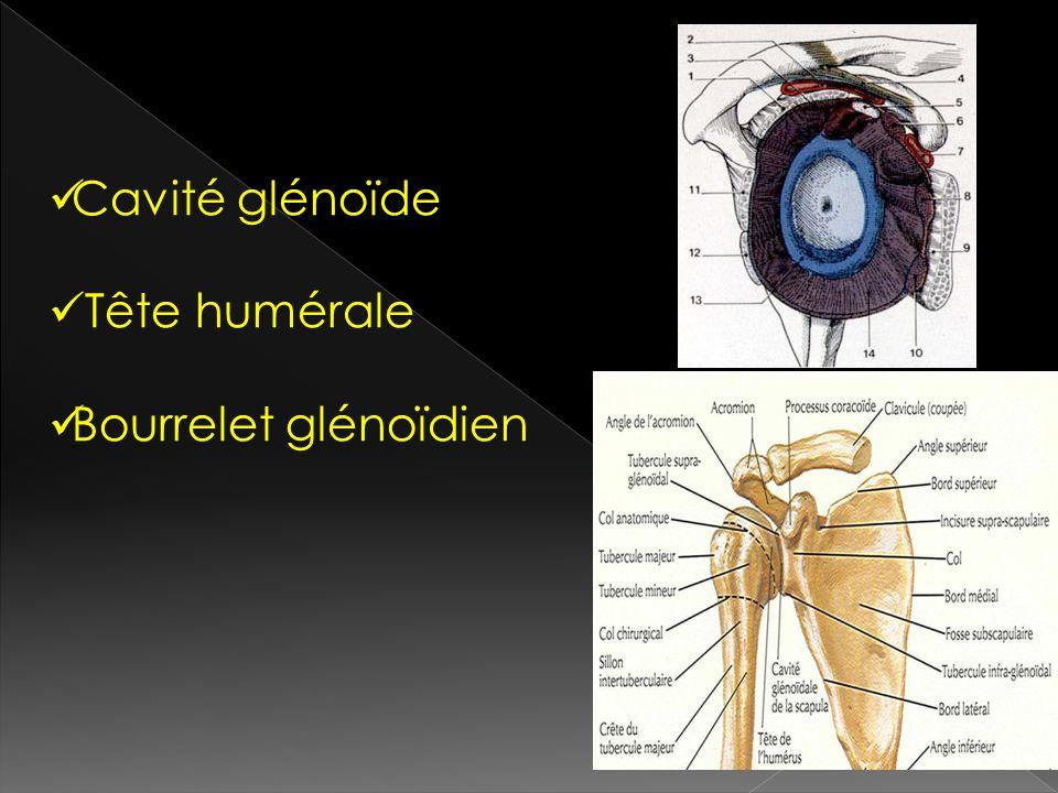 Cavité glénoïde Tête humérale Bourrelet glénoïdien