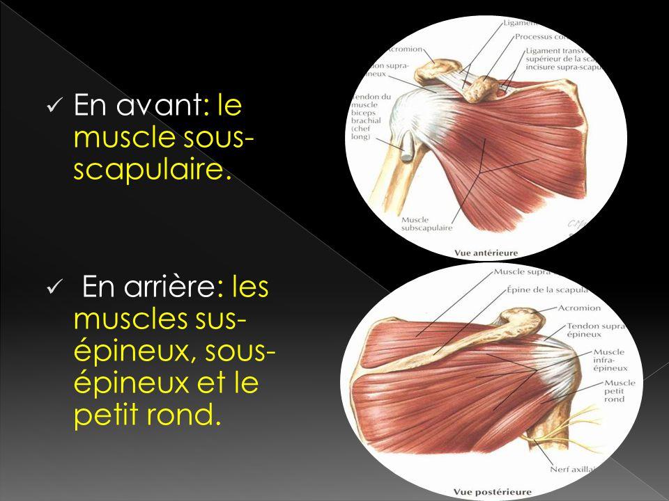En avant: le muscle sous- scapulaire. En arrière: les muscles sus- épineux, sous- épineux et le petit rond.