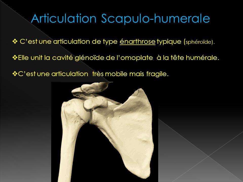 Articulation Scapulo-humerale Cest une articulation de type énarthrose typique ( sphéroïde). Elle unit la cavité glénoïde de lomoplate à la tête humér