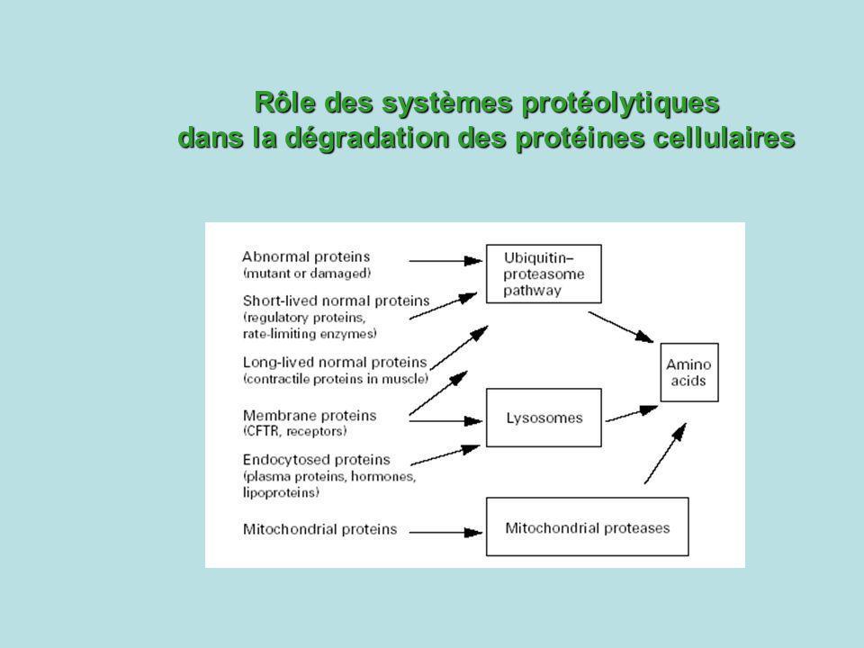 Rôle des systèmes protéolytiques dans la dégradation des protéines cellulaires