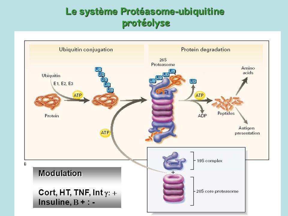 Le système Protéasome-ubiquitine protéolyse Modulation Cort, HT, TNF, Int Insuline, + : -