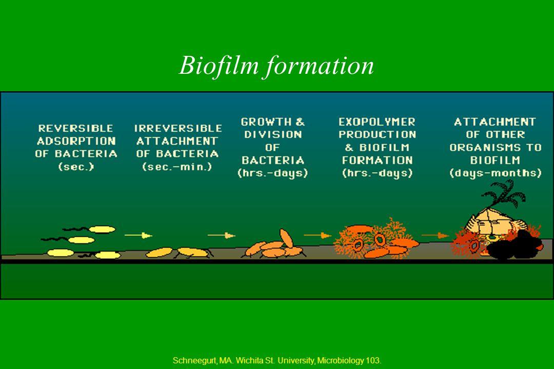Biofilm formation Schneegurt, MA. Wichita St. University, Microbiology 103.