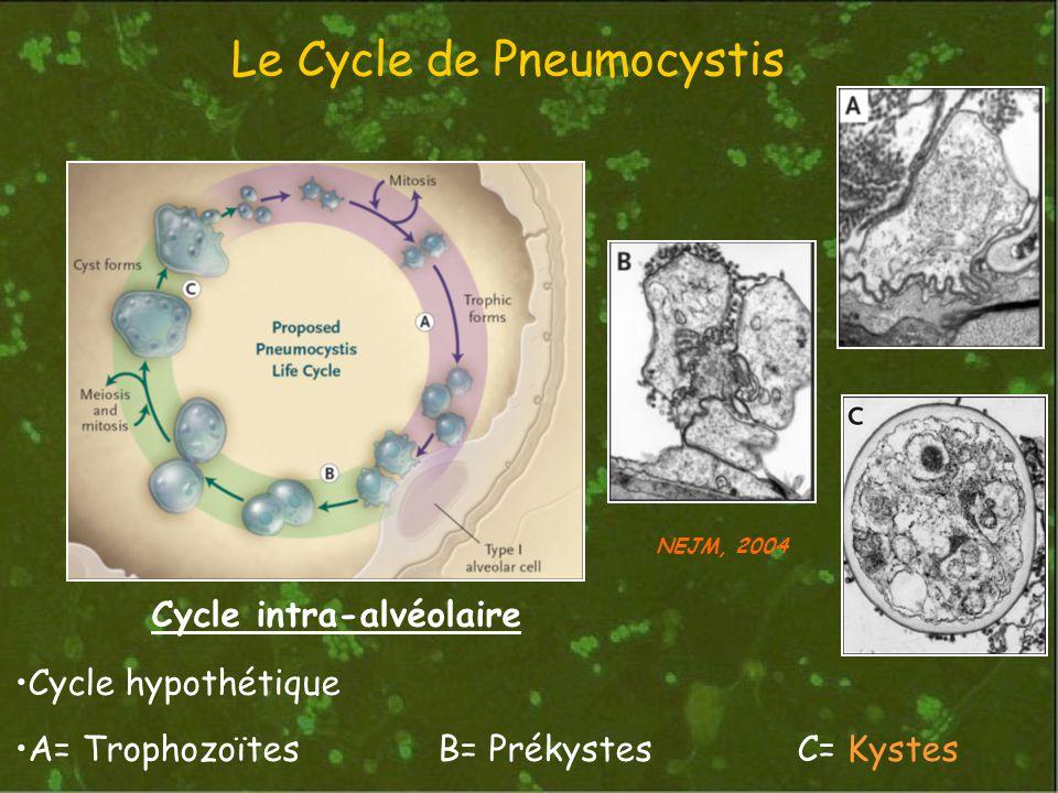 Le Cycle de Pneumocystis Cycle intra-alvéolaire Cycle hypothétique A= TrophozoïtesB= Prékystes C= Kystes NEJM, 2004