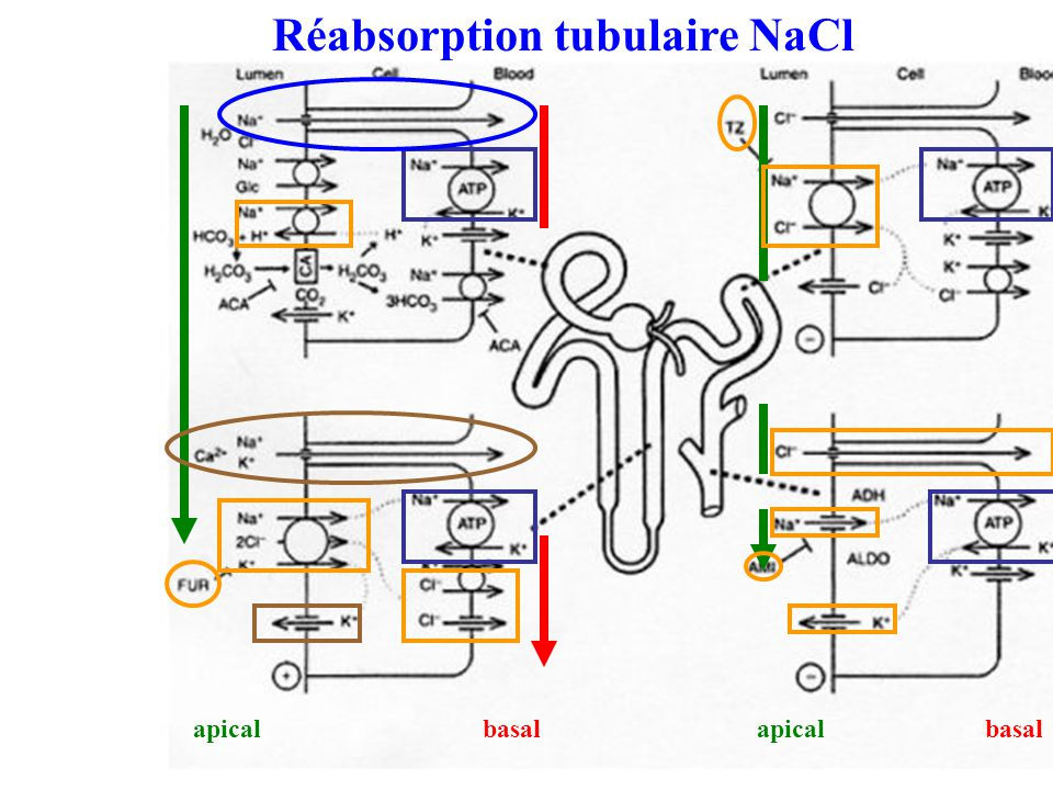 apical basal Réabsorption tubulaire NaCl