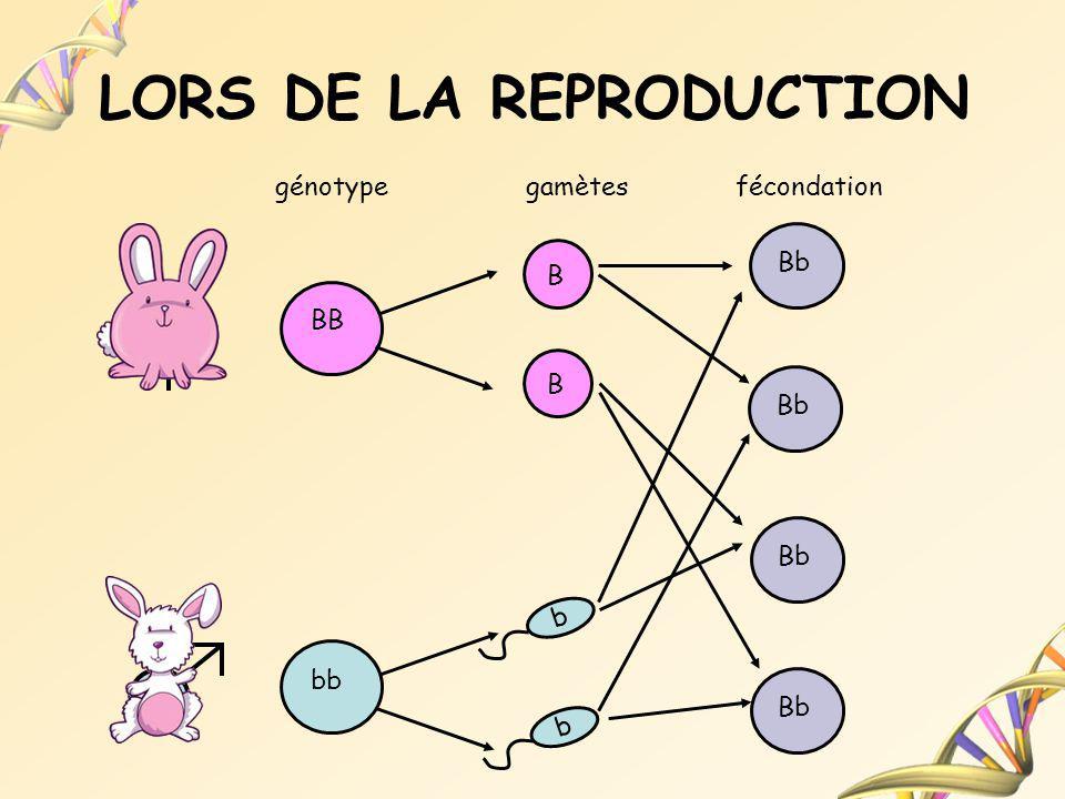 LORS DE LA REPRODUCTION BB bb génotypegamètesfécondation B B b b Bb