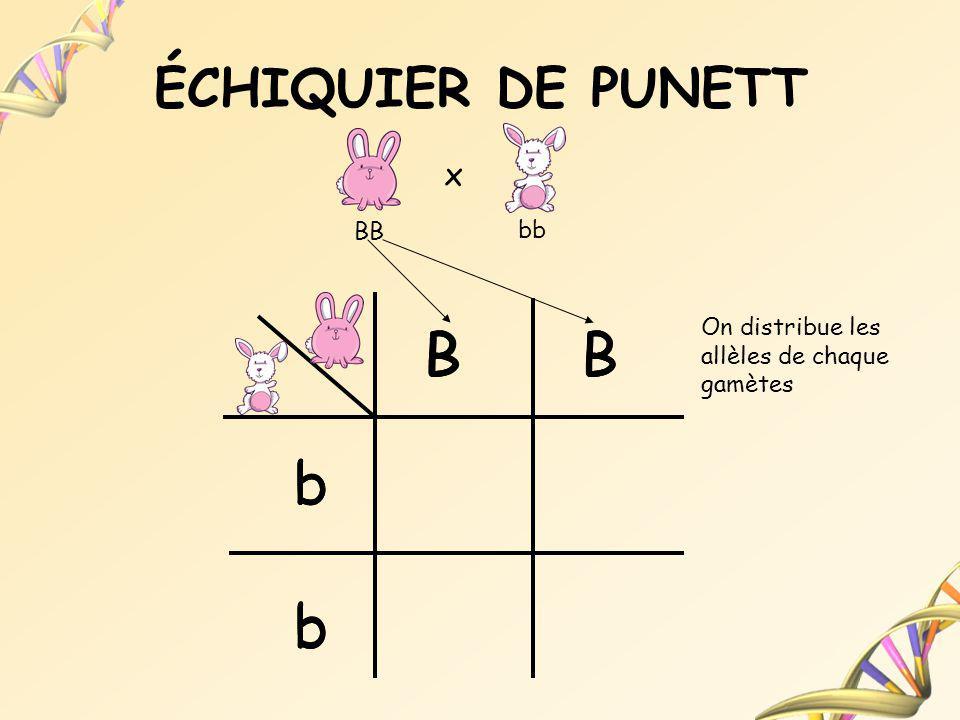 ÉCHIQUIER DE PUNETT B b BB bb x On distribue les allèles de chaque gamètes B b B b b BBB b b