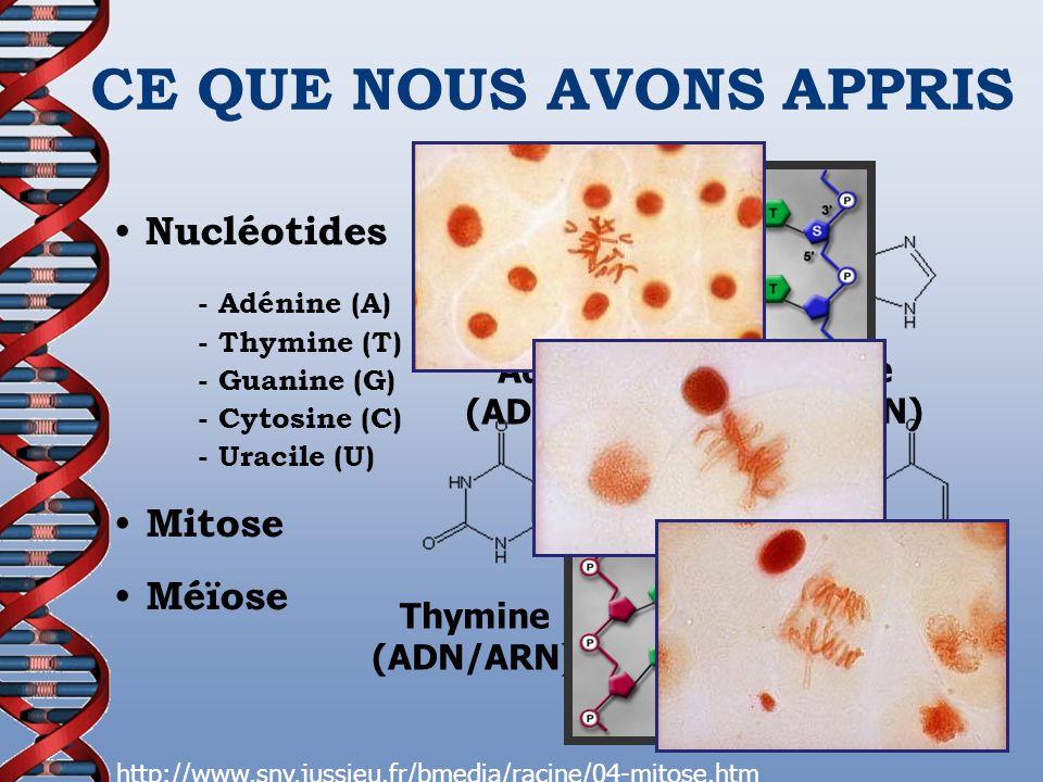 CE QUE NOUS AVONS APPRIS Nucléotides - Adénine (A) - Thymine (T) - Guanine (G) - Cytosine (C) - Uracile (U) Mitose Méïose Adénine (ADN/ARN) Guanine (A