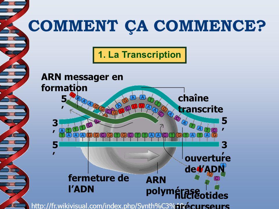 COMMENT ÇA COMMENCE? 1. La Transcription http://fr.wikivisual.com/index.php/Synth%C3%A8s e_des_prot%C3%A9ines 5 ARN messager en formation fermeture de