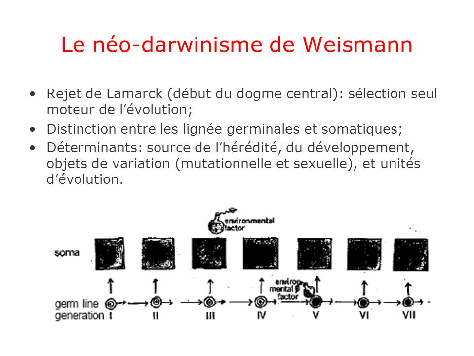Le néo-darwinisme de Weismann Rejet de Lamarck (début du dogme central): sélection seul moteur de lévolution; Distinction entre les lignée germinales et somatiques; Déterminants: source de lhérédité, du développement, objets de variation (mutationnelle et sexuelle), et unités dévolution.