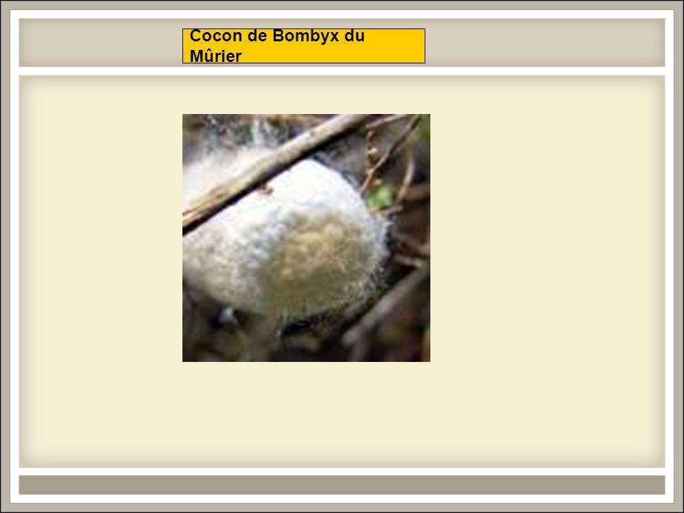 Cocon de Bombyx du Mûrier