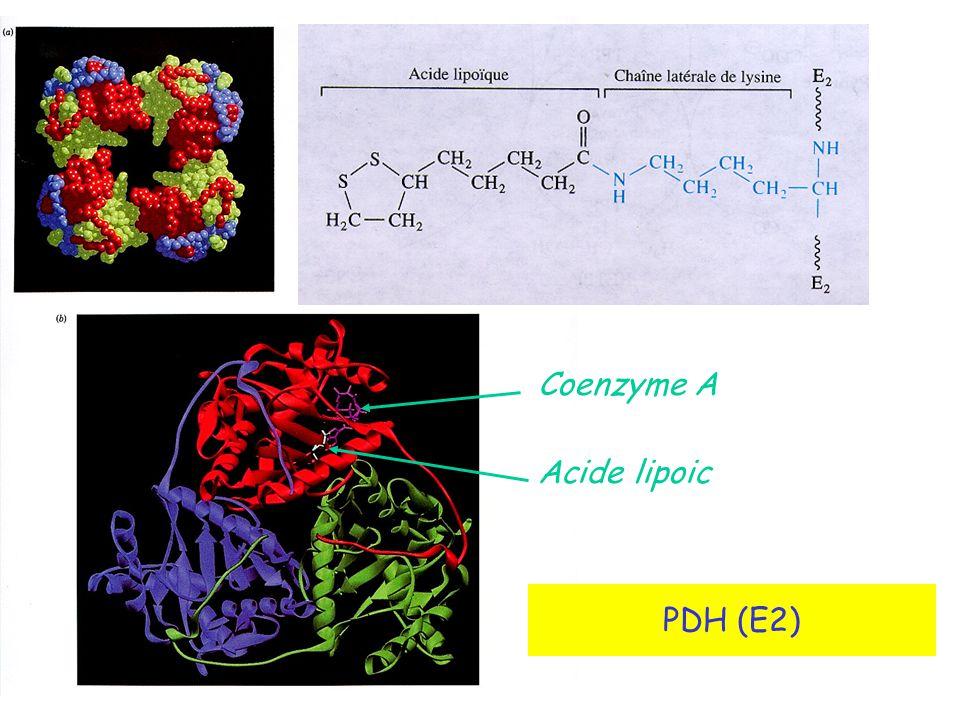 PDH (E2) Coenzyme A Acide lipoic