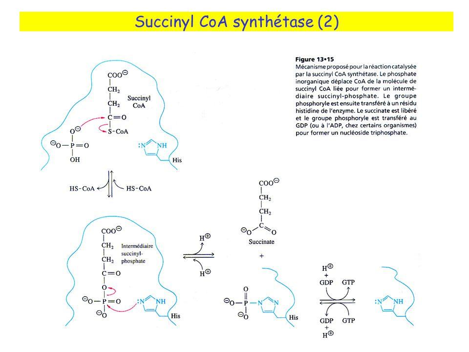 Succinyl CoA synthétase (2)