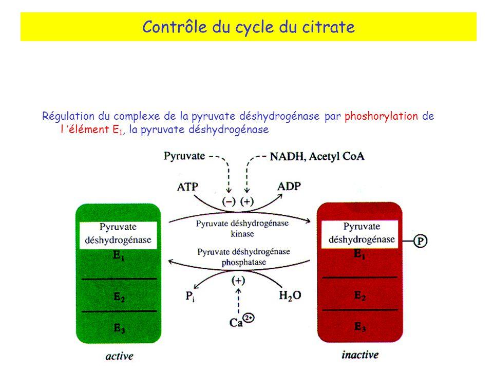 Contrôle du cycle du citrate Régulation du complexe de la pyruvate déshydrogénase par phoshorylation de l élément E 1, la pyruvate déshydrogénase