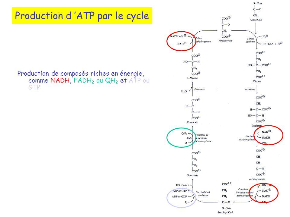 Production d ATP par le cycle Production de composés riches en énergie, comme NADH, FADH 2 ou QH 2 et ATP ou GTP